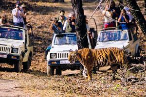 Nel resto dell'India, le tigri sono considerate un'attrazione turistica redditizia.