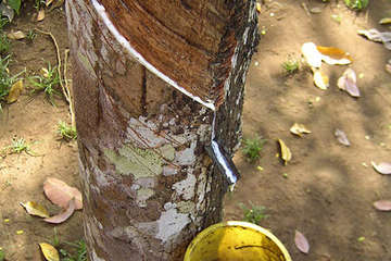 Latex from the rubber tree fuelled the rubber boom in the Amazon