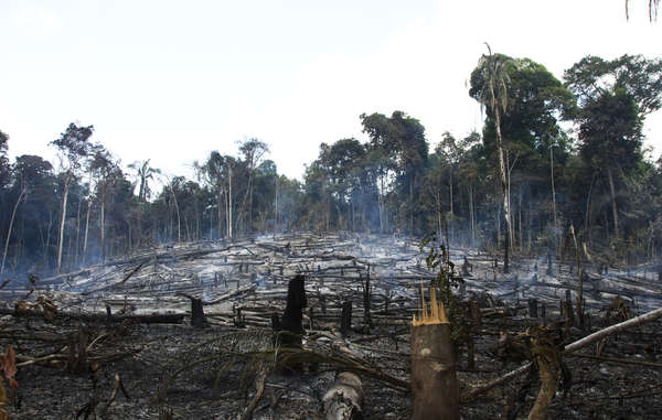 Loggers, settlers and ranchers have destroyed large areas of the Awá's forest.
