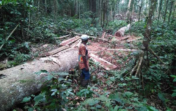 "This picture was taken by Baka ""Pygmies"" in late 2016 when they reported finding Rougier employees logging illegally on their land."