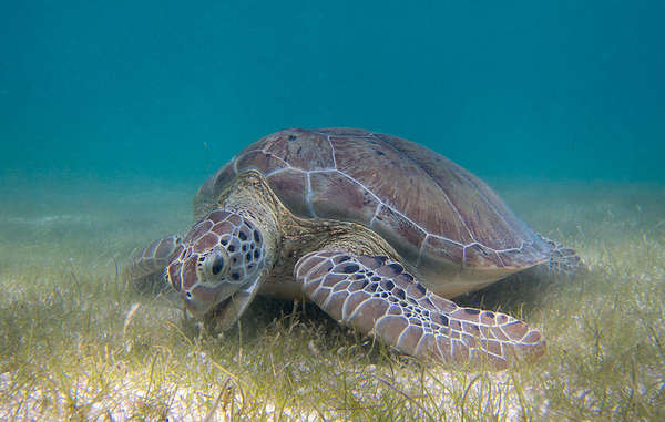 Uno degli obiettivi più importanti per i bracconieri delle isole delle Andamane – che costituiscono una minaccia per le tribù come i Jarawa e i Sentinelesi – sono le tartarughe marine.