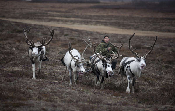 """Tribal people rely on reindeer for food, transport, shelter and warmth."""