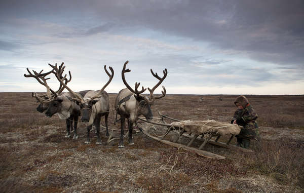 Tribes all around the world, such as Russia's Nenets, depend on reindeer for their survival.