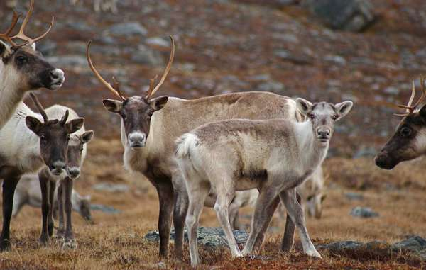The reindeer is central to the lives and cultures of indigenous peoples across the sub-Arctic