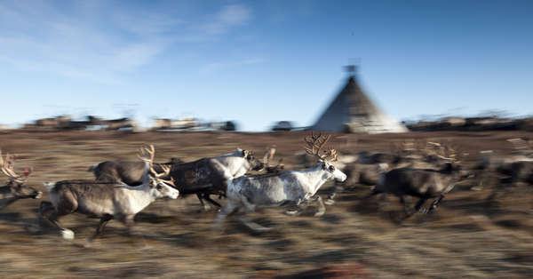 Renos en la península de Yamal, Rusia.
