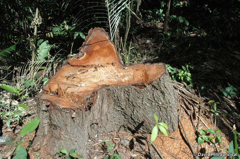 Sinais de madeireiros ilegais, que são uma ameaça ao habitat e bem-estar das tribos isoladas. © David Hill/Survival