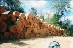 Belege für illegale Abholzung entlang der geplanten Streckenführung