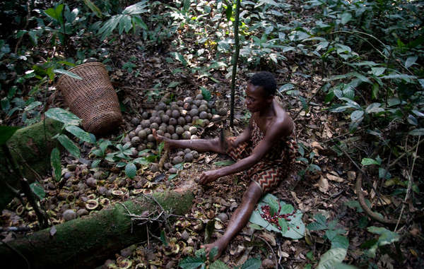 """Before they had to leave their land, the Baka's hunter gatherer lifestyle provided them with abundant and sustainable sources of food."""