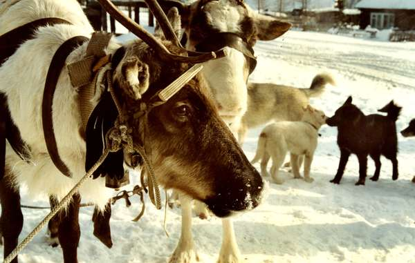 """An Evenk reindeer. The fat content of reindeer milk is six times higher than a cow's."""
