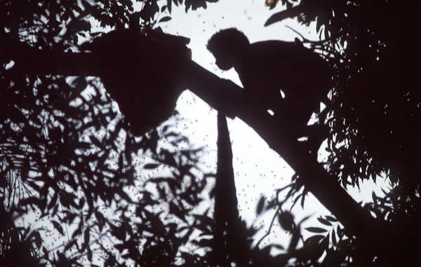A Batak man harvests honey from the forest canopy