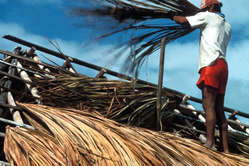 Makuxi man thatching a roof with buriti, Raposa-Serra do Sol, Brazil, 1994.
