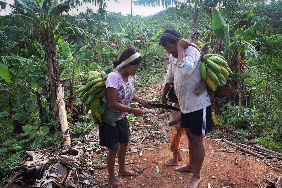 A Matsés family gathering plantains.