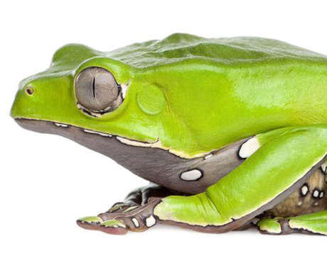 The 'acate', or giant Amazon leaf frog (_Phyllomedusa bicolor_)
