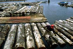 Un maderero manipula troncos cortados en tierra penan.