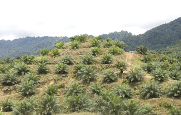 Oil palms planted on recently-deforested land, Sarawak