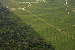 Palm oil plantation, Peru. Much of the land used to grow biofuels such as palm oil is the ancestral land of tribal peoples.