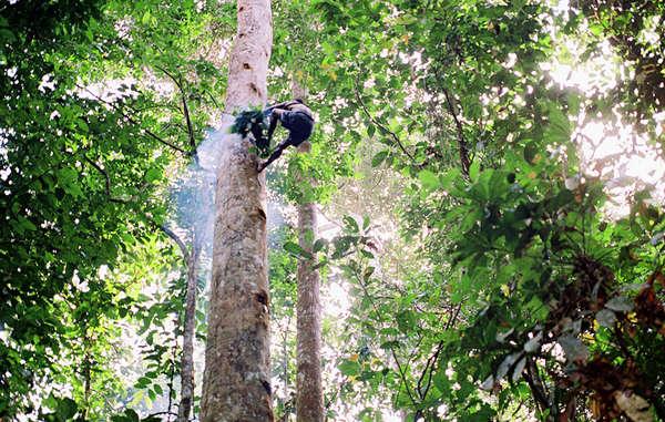 Viele Pygmäen leben von den Erzeugnissen des Waldes, die sie mit viel Erfahrung gewinnen.
