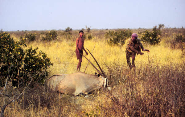 The Bushmen have hunted game sustainably for many generations, and pose no threat to the survival of wildlife in the Central Kalahari Game Reserve.