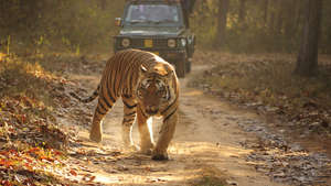 Tiger Day: Campaigners demand a conservation model that respects tigers and tribal people