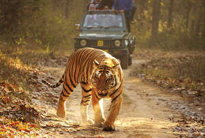 Tigers are considered a lucrative tourist attraction by the Indian authorities
