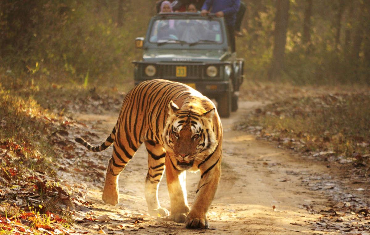 Les tigres sont considérés comme une attraction touristique lucrative par les autorités indiennes.