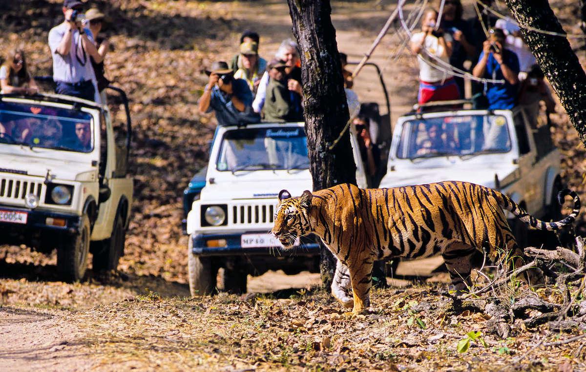 Nel resto dellIndia, le tigri sono considerate unattrazione turistica redditizia.