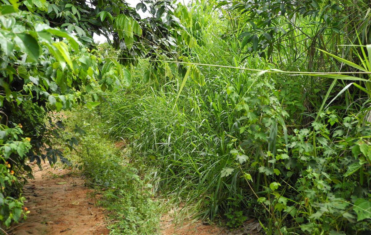 La selva se recupera en un camino abierto por los madereros ilegales tras su expulsión en 2014.