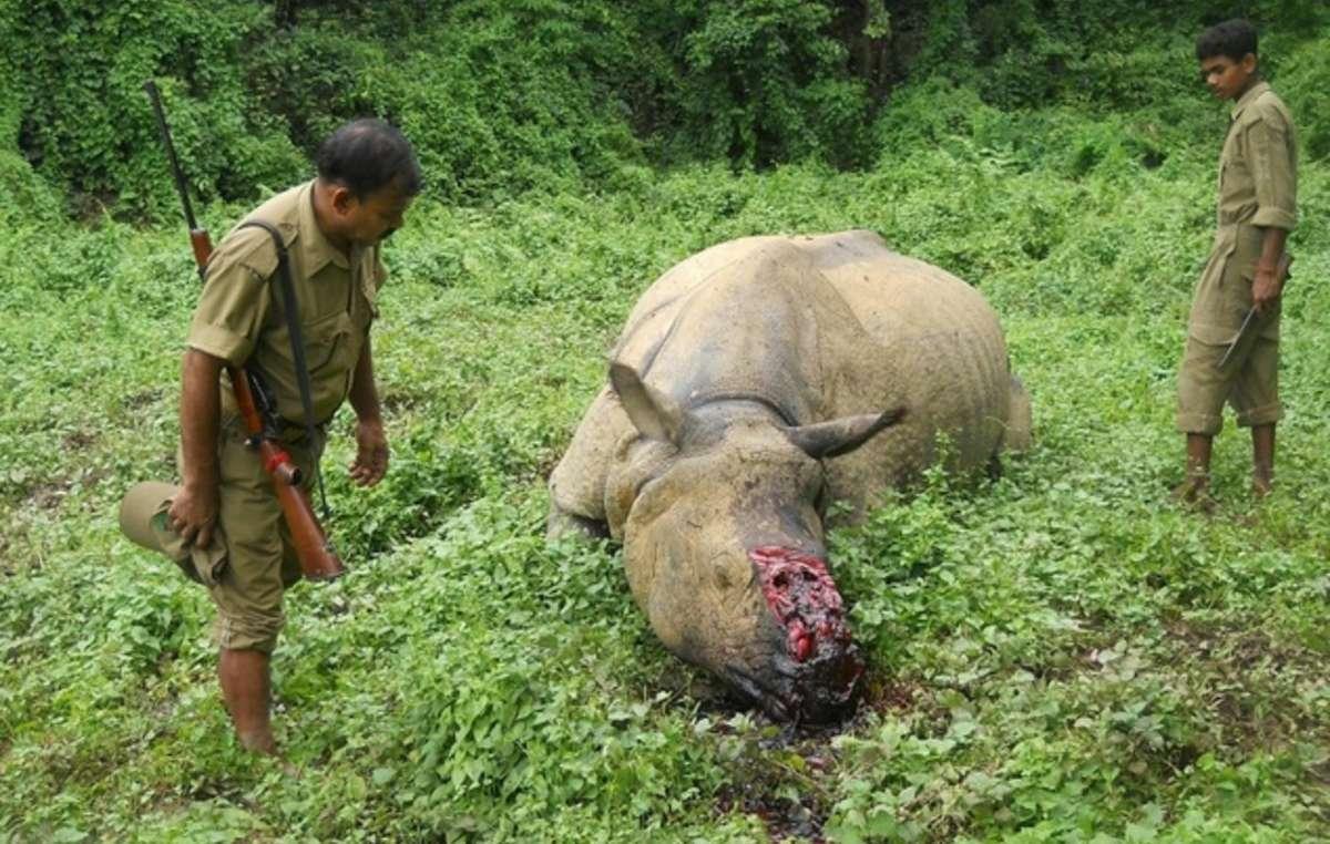Les gardes forestiers du parc national de Kaziranga, en Inde, sont armés et encouragés à exécuter sommairement les intrus dans la réserve.
