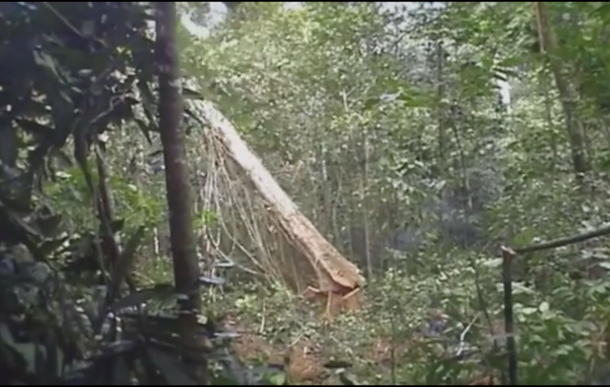 Logging is rampant in the area, even within the tribes protected territory
