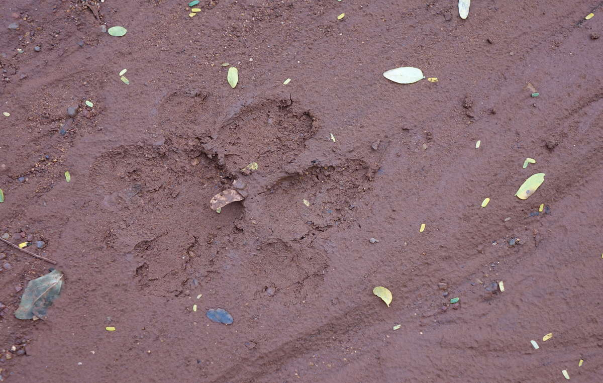 Tiger-Fußabdruck