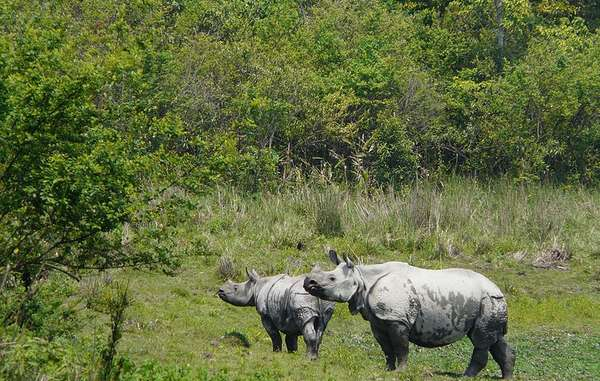 Kaziranga is home to a large population of one-horned rhinos.