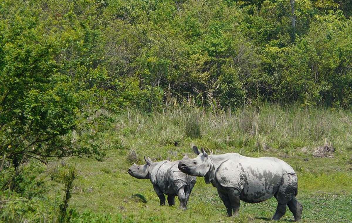 En Kaziranga habita un amplio número de rinocerontes de un solo cuerno.