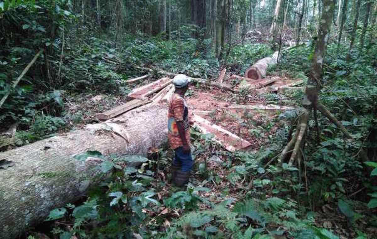 Cette photo a été prise fin 2016 par des « Pygmées » baka lorsquils ont annoncé avoir découvert que des employés de Rougier abattaient illégalement des arbres sur leurs terres.
