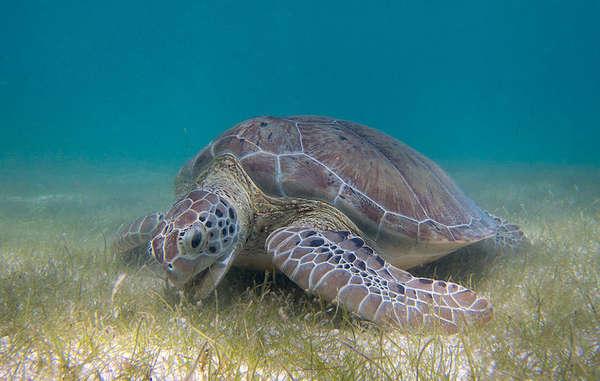Meeresschildkröten bleiben ein attraktives Ziel für Wilderer auf den Andamanen. Diese bedrohen indigene Völker wie die Jarawa und Sentinelesen.