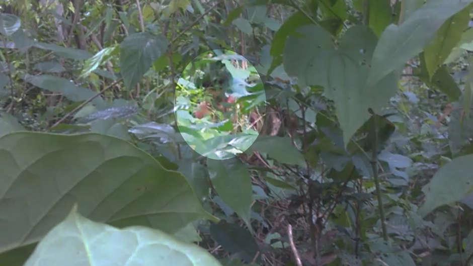 A filmagem foi feita por um Guardião Guajajara durante um encontro por acaso.