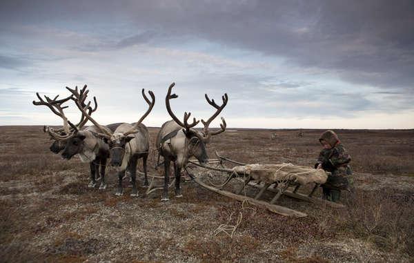 Molte tribù del mondo, come i Nenet della Russia, dipendono dalle renne per la loro sopravvivenza.