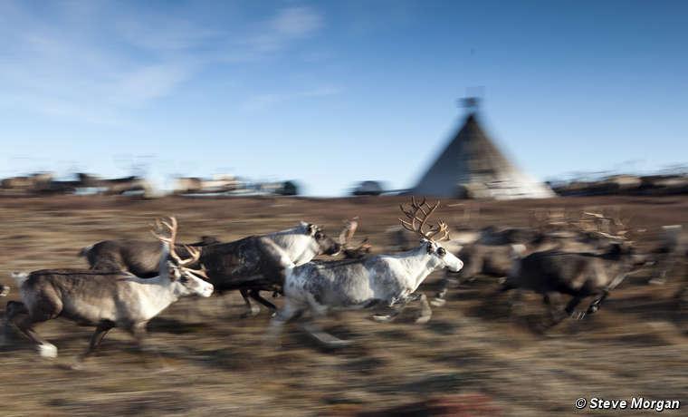 Reindeers, Yamal Peninsula, Russia