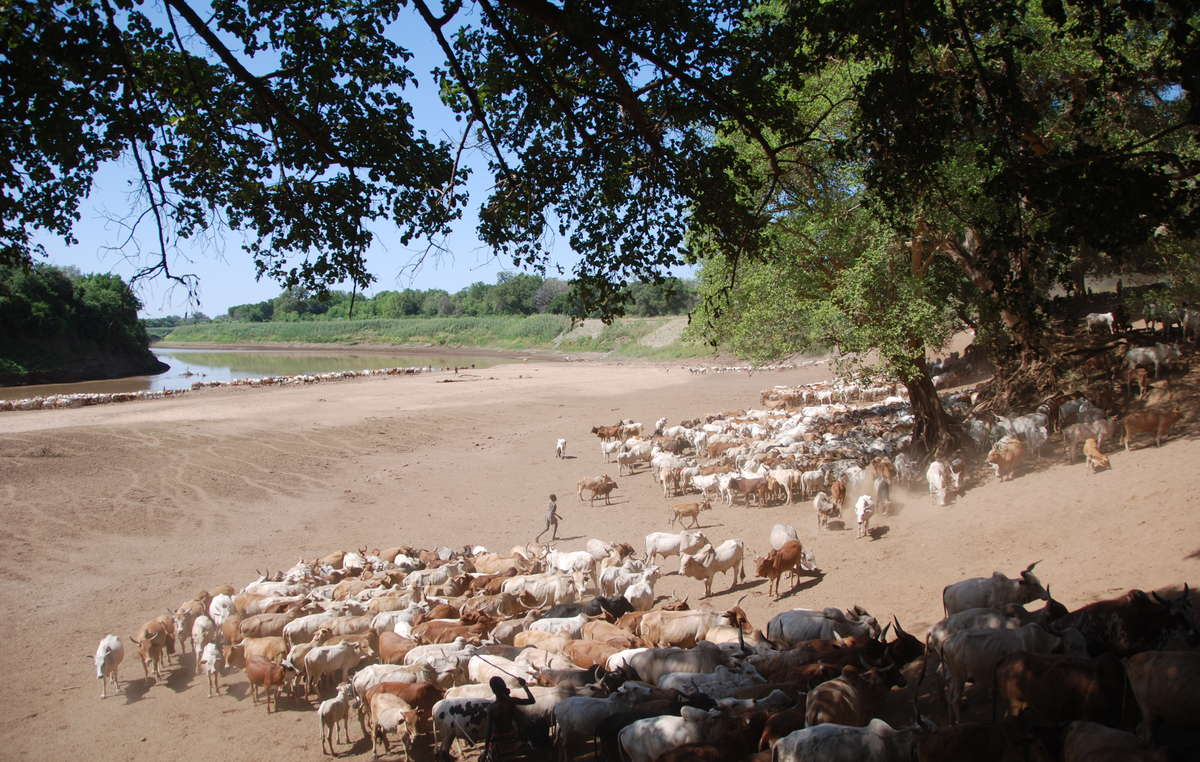 Karo and Hamar children bring their cattle to drink by the Omo River.