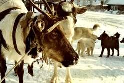 Ein Ewenken-Rentier. Der Fettgehalt von Rentiermilch ist sechsmal höher als der von Kuhmilch.
