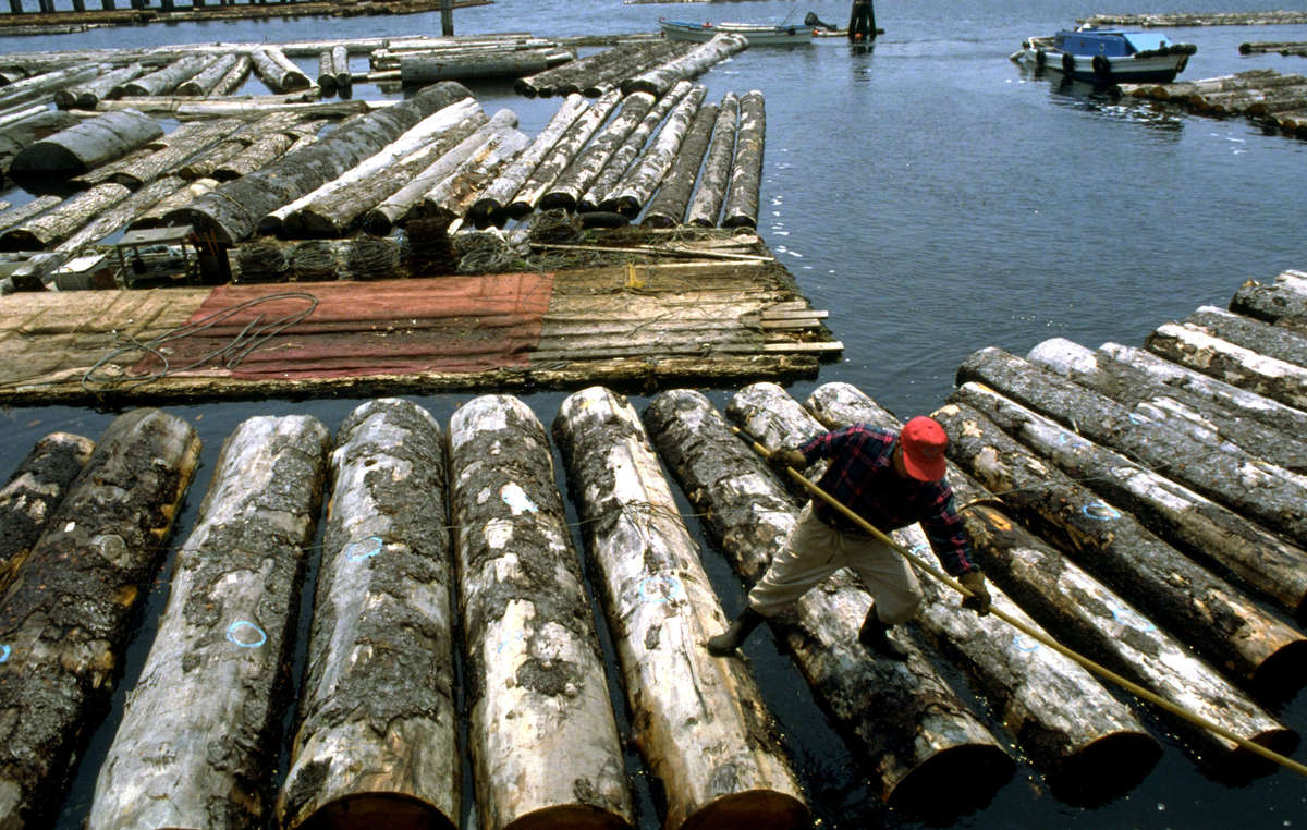 Ein Holzfäller mit Holzstämmen aus der Region der Penan.