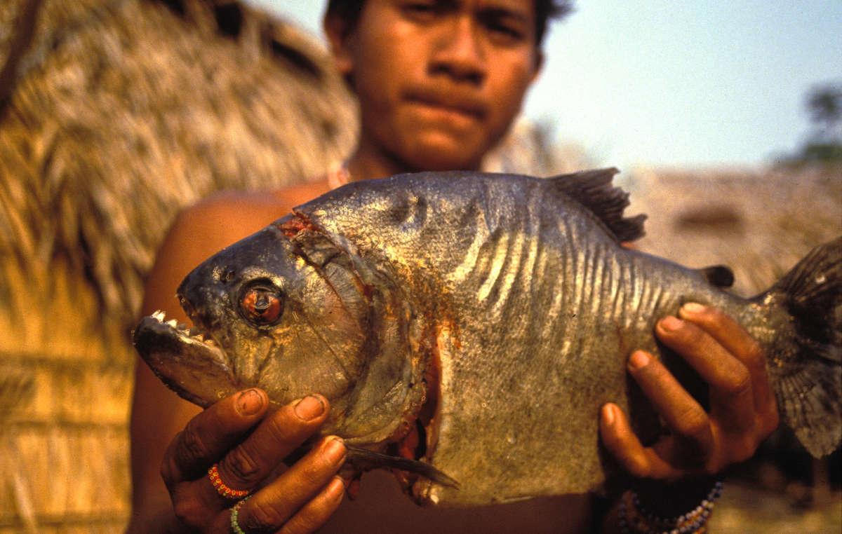 Ein junger Arara mit einem gekochten Piranha.