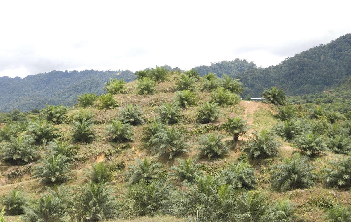 Des plantations de palmiers à huile sur un territoire récemment déboisé, Sarawak.