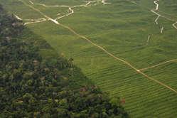 Plantación de palma de aceite, Perú. Gran parte del territorio que se utiliza para producir biocombustibles es la tierra ancestral de pueblos indígenas.