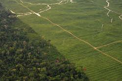 Plantation de palmiers à huile, Pérou. Les territoires ancestraux des peuples indigènes sont fréquemment utilisés pour cultiver des biocarburants comme l'huile de palme.