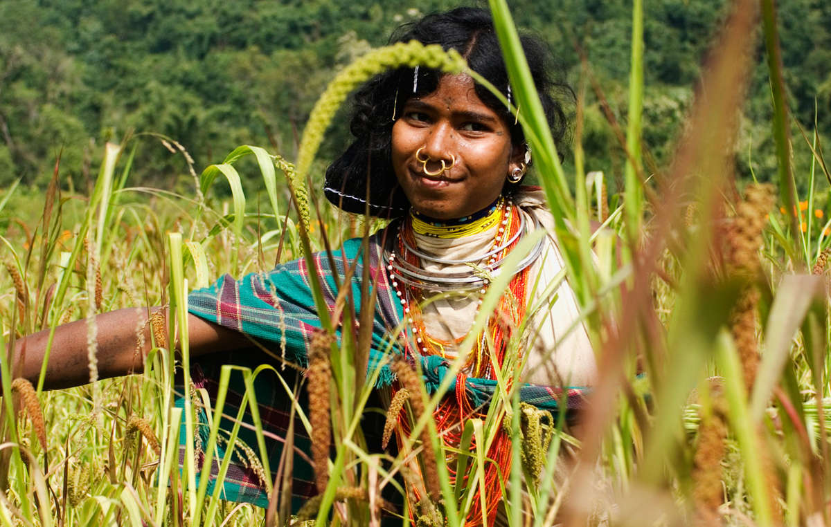 A Dongria Kondh woman picks millet in Niyamgiri, India