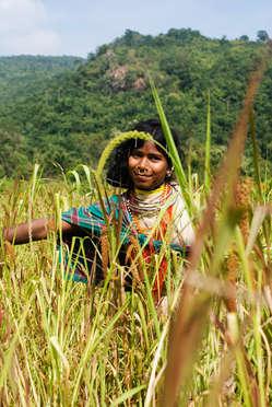 A Dongria Kondh woman picks millet in Niyamgiri, India