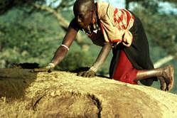 Mujer masai extendiendo una capa de heces de vaca sobre el tejado de su cabaña. Una vez seca, se convierte en un caparazón impermeable y favorece la firmeza de la estructura. Kenia.