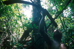 Pygmee jager
