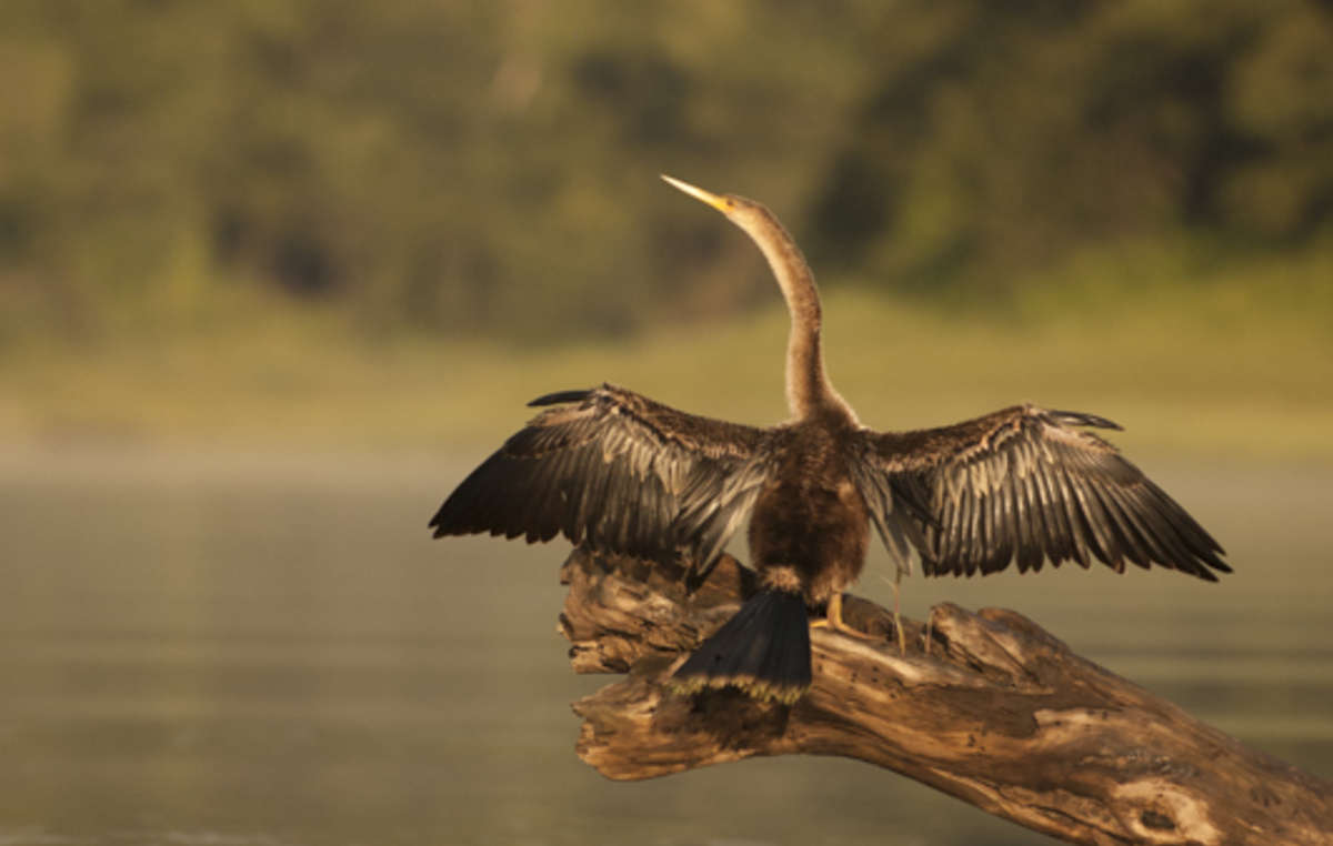 Ein Komoran des Amazonasbeckens breitet seine Flügel zum Trocknen aus.
