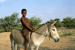 The Bushmen rely on donkeys to bring water into the reserve.
